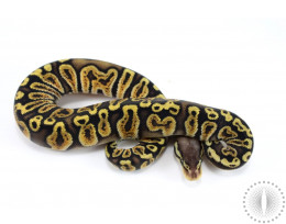 Pastel GHI Het Albino Ball Python