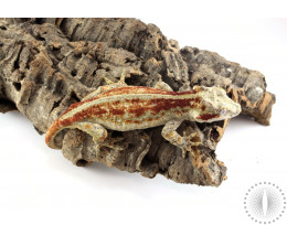 Adult Female Gargoyle Gecko - Red Striped