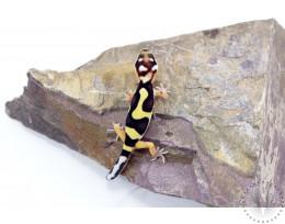 Bold Stripe Bandit Leopard Gecko