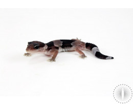 Oreo Fat Tail Gecko
