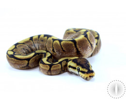 Spider GHI Yellow Belly Ball Python