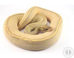 Lesser Freeway Ball Python