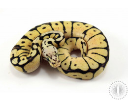 GHI Bee Yellow Belly Ball Python