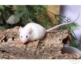 Live Mice