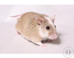 Frozen African Soft Fur Rats